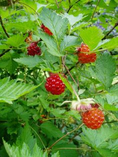 salmon berries, a woodland treat Moon Garden, Dream Garden, Berry, Celtic Tree, Variety Of Fruits, Trees And Shrubs, Shade Garden, Native Plants, Herb Garden