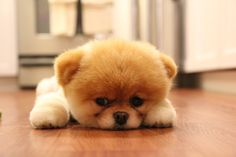Teddy bear puppy.