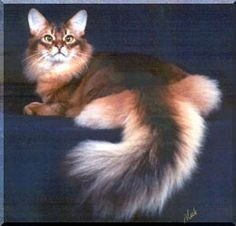 Somali cat. Graceful sums up the Somali. I've been lucky enough to have had two of these beautiful felines grace my life. Total opposites but both amazing.