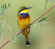 Blue-breasted Bee-eater (Merops variegatus), Central Africa