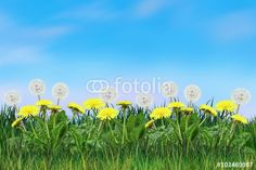 """Download the royalty-free photo """"Spring landscape with Dandelion Spring flowers, green grass and light blue sky. Digital illustration"""" created by sofiartmedia at the lowest price on Fotolia.com. Browse our cheap image bank online to find the perfect stock photo for your marketing projects!"""