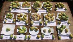 Paw paw - Asimina triloba - muďoul trtojlaločný - plody dle odrůd
