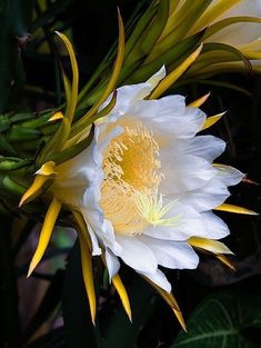 "Dragon Fruit flower Hylocereus blooms only at night; the large white fragrant flowers of the typical cactus flower shape are among those called ""moonflower"" or ""Queen of the Night"""
