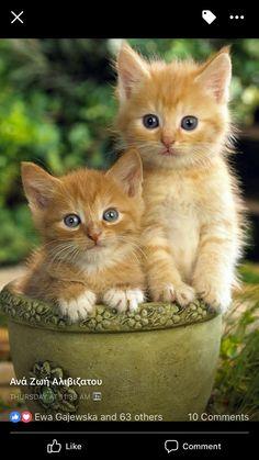 All About Ginger Cats - Kittens Cutest - Katzen Bilder Cute Baby Cats, Kittens And Puppies, Cute Cats And Kittens, Cute Baby Animals, Kittens Cutest, Funny Animals, Funny Kittens, Ragdoll Kittens, Tabby Cats