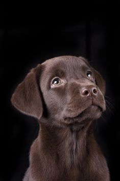 Chocolate Lab Puppy !! ❤ #LabradorRetriever