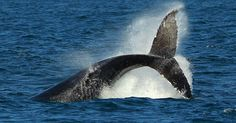Watch these humpbacks with wonder.