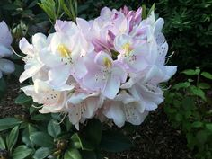 Rhododendron in roseweiss