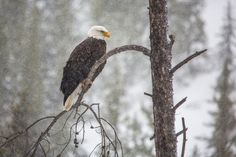 Bald Eagle, Winter in Yellowstone National Park (pinned by haw-creek.com)