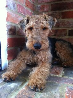 Welsh Terrier, Atticus, scruffy...