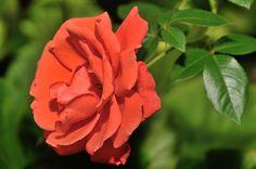 Rose Philippe, Les fleurs - MonSitePhotos - MonSitePhotos