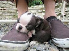 boston terrier puppy - Cerca con Google