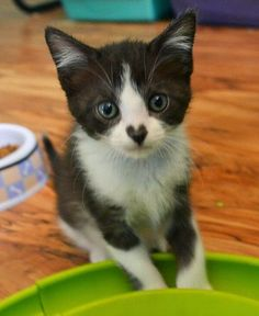 Black & white kitten with a little heart nose