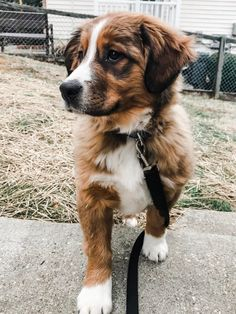 Our majestic Bernese Mountain Dog Mix puppy : aww Cute Dogs Breeds, Cute Dogs And Puppies, Cute Big Dogs, Cute Dog Mixes, Poodle Mix Breeds, Poodle Mix Puppies, Mixed Breed Puppies, Pinterest Vintage, Bernese Mountain Dog Mix