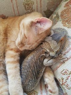 Odd Animal Couples: 10 Cats Who Made Friends With Other Critters [VIDEOS] - CatTime - Cat Loves His Bearded Dragon Buddy – Who says cats can't make friends with other species? Cute Baby Animals, Animals And Pets, Funny Animals, Unusual Animals, Animals Beautiful, Unusual Pets, Odd Animal Couples, Odd Couples, Cute Cats