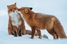 Russian Miner Spends His Breaks Taking Photos Of Foxes In The Arctic Circle (Part 2) | Bored Panda