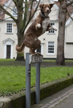 Ozzy, the border collie cross who has perfected a balancing act - Ozzy standing on a street sign