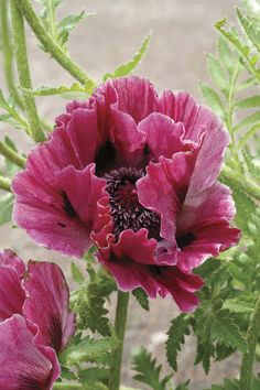 Harlem Oriental Poppy (Papaver orientale Harlem) perennial, Partial Shade/Full Sun, Zone 3 - 18 - 24 tall x 24 - 30 wide, spring flowers. Large burgundy red flowers on long sturdy stems. Poppies go summer dormant until the weather cools again in early f