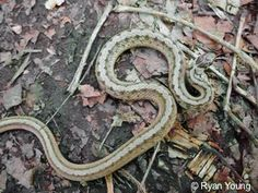 Brown Snake [Storeria dekayi]  It is found in southern Canada and in the United States east of the Rocky Mountains