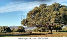 Encinar In Front Of The Sierra De Abantos And El Escorial #nature #trees #Spain #photostock  #stockphoto