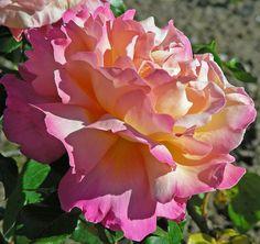 Peace Rose (hybrid) | Chicago peace rose hybrid tea rose from the rose garden in stanley ...
