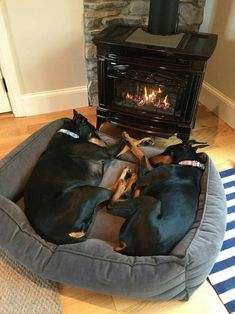 The Doberman Pinscher is among the most popular breed of dogs in the world. Known for its intelligence and loyalty, the Pinscher is both a police- favorite I Love Dogs, Cute Dogs, Black And Tan Terrier, Dog Cuddles, Dogs Cuddling, Canis Lupus, Doberman Pinscher Dog, Doberman Love, Beautiful Dogs