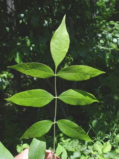 Rhus Glabra Anacardiaceae Smooth Sumac Botany Study