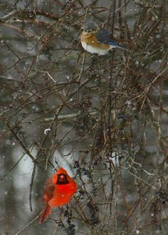 Bluebird and Cardinal in winter.