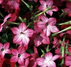 Nicotiana Seeds Avalon Pink Picotee 50 Pelleted Seeds #Nicotianaseeds