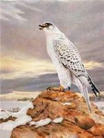 """Open Edition Signed Print By Charles Frace' Titled: """"Gyrfalcon"""""""
