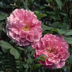 Theresa Bugnet - Rugosa Rose  Available @ Bluemel's Garden Center 2015 www.bluemels.com