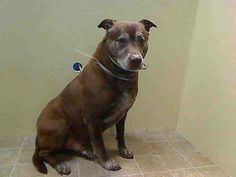 TO BE DESTROYED - 01/11/14 Brooklyn Center   My name is BARRY. My Animal ID # is A0989041. I am a male brown and white brown and pit bull mix. The shelter thinks I am about 6 YEARS old....See More —THIS POOR OLD DOG DESERVES RESPECT AND A LOVING HOME