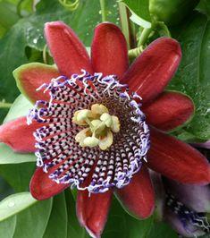 passiflore rouge alata ou passiflora alata ou fleurs de la passion pot 12cm