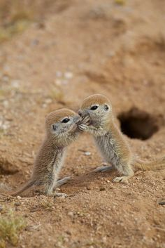 sweet babies - Round-tailed Ground Squirrels.