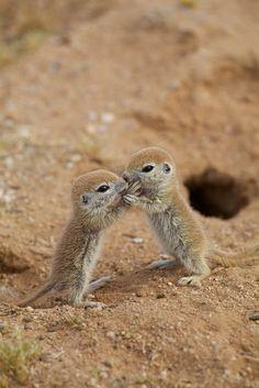 sweet babies - Round-tailed Ground Squirrels.