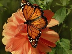 monarch butterfly with open wings