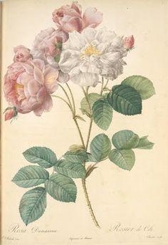 Rosa Damascena 'Celestiana', Pierre-Joseph Redouté (1759-1840)