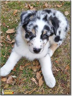 Read Scout's story the Australian Shepherd from Colorado and see his photos at Dog of the Day http://DogoftheDay.com/archive/2015/February/02.html
