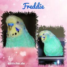 Freddie, my Teddy, my Love - Wellensittich Forum und Galerie fuer Wellensittich-Freunde Parrot, Bird, Animals, Budgies, Friends, Parrot Bird, Animales, Animaux, Birds