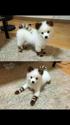 Cute Overload: Internet`s best cute dogs and cute cats are here. Aww pics and adorable animals. Cute Little Animals, Cute Funny Animals, Little Dogs, Funny Dogs, Cute Dogs And Puppies, Doggies, Bear Dogs, Cutest Dogs, Cute Animals Puppies