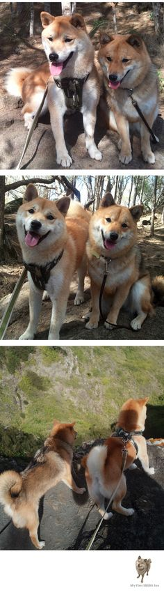 Shiba Inu buddies Kitsune and Kuma enjoying a beautiful hike. Love Shiba Inu's? Learn more about this breed at www.myfirstshiba.com