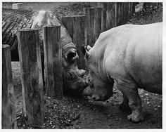 Rhinos, nose to nose