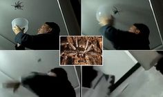 The comical moment a man attempts to capture a giant huntsman spider