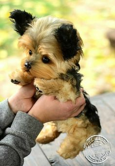 Yorkshire terrier - energetic and affectionate dog love йорк Dog Tricks, I Love Dogs, Cute Dogs, Cavalier King Charles Spaniel, Top Dog Breeds, Yorkshire Terrier Puppies, Terrier Dogs, Yorkie Puppy, Puppy Husky