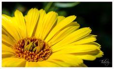 Flower by Thabreez Muhamed on 500px, 99.0