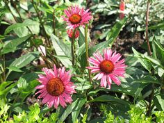 The Flora of Missouri includes detailed information on all of Missouri's native vascular plants, like this purple coneflower (Echinacea purpurea). Photo Credit: Lisa Francis, Missouri Botanical Garden