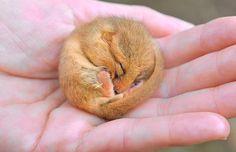 A hibernating dormouse curls up