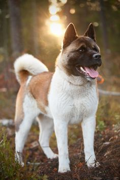 349 Best Akitas images in 2017 | Akita puppies, Japanese