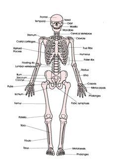 skeletal system diagrams including definitions of the major bones, Skeleton