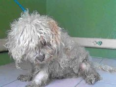 Neglected little stray senior found with heavy chain collar around his neck