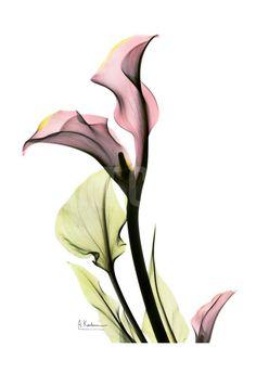 Calla Lily in Pink Art Print by Albert Koetsier at Art.com